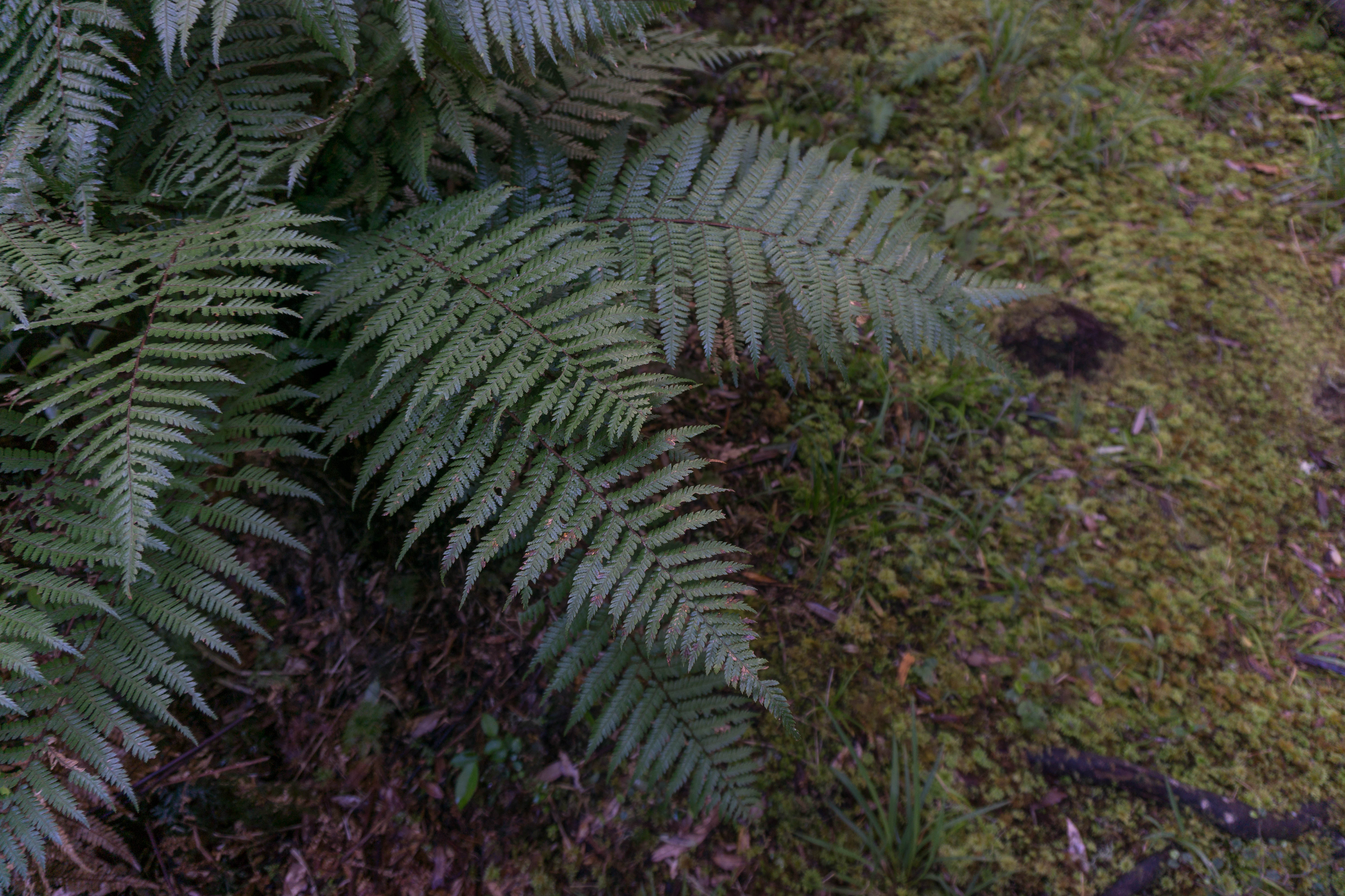 Moody ferns in the Whirinaki Forest