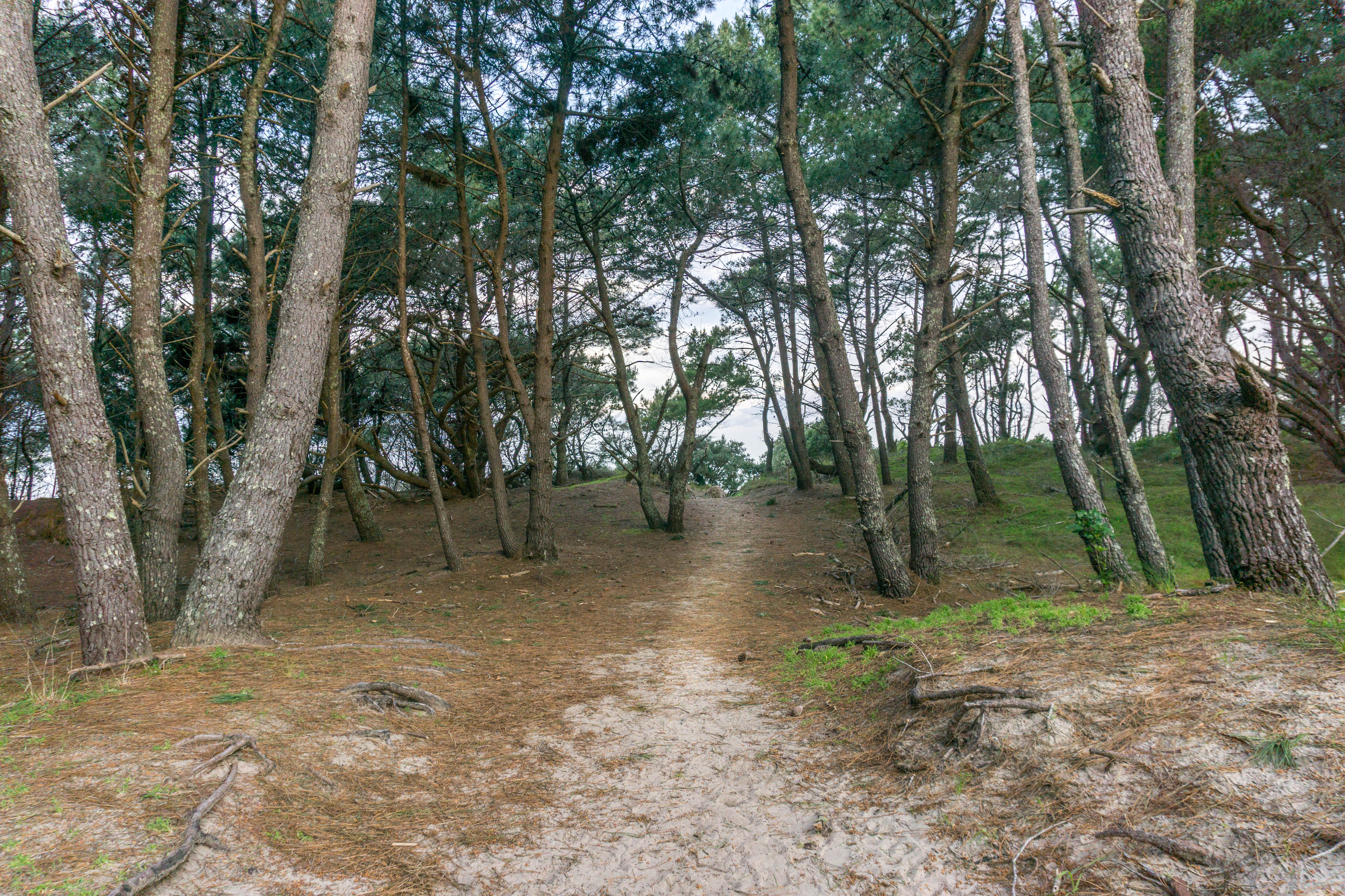 Opoutere Pine Forest Path