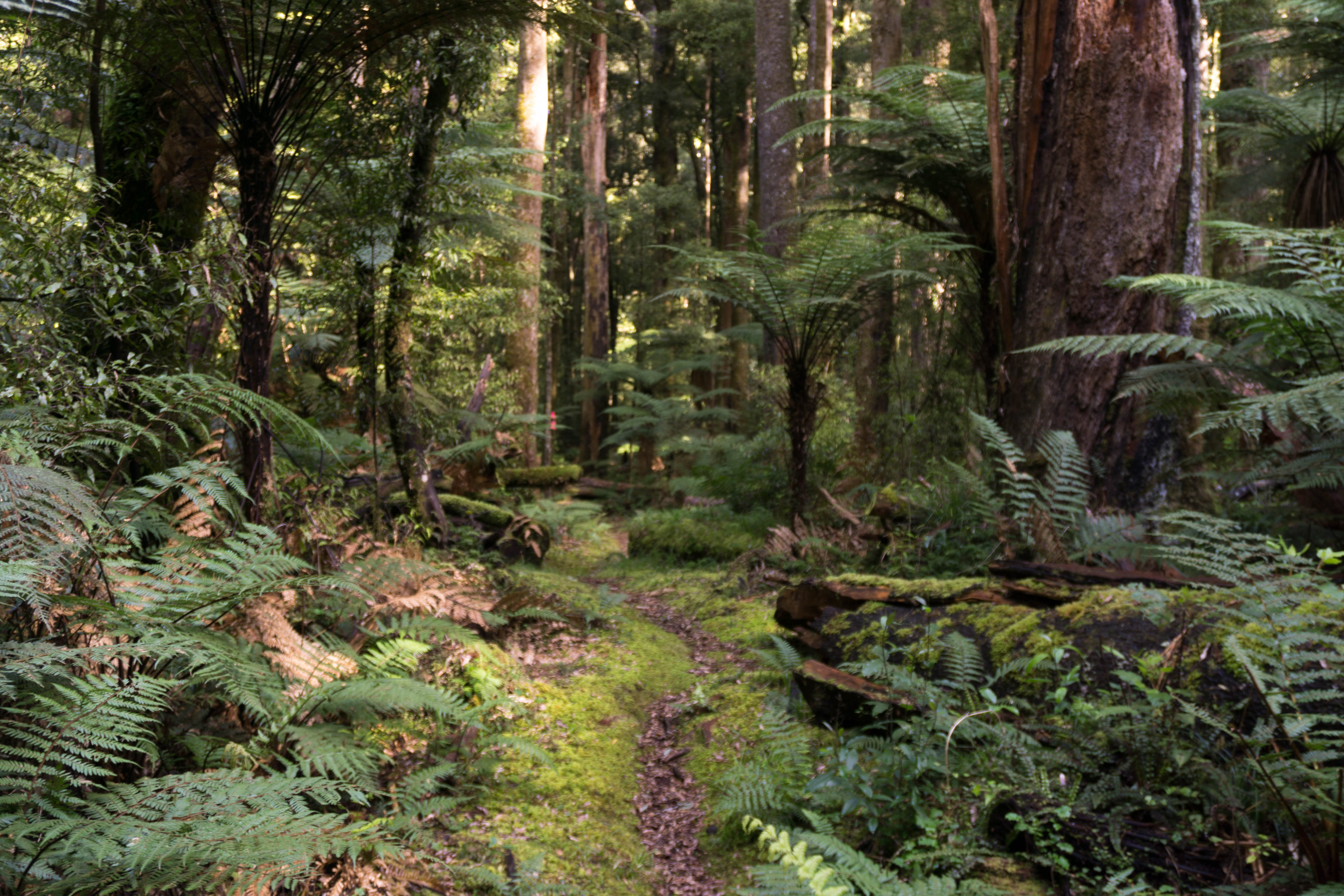 Whirinaki Forest path along the Sanctuary Loop