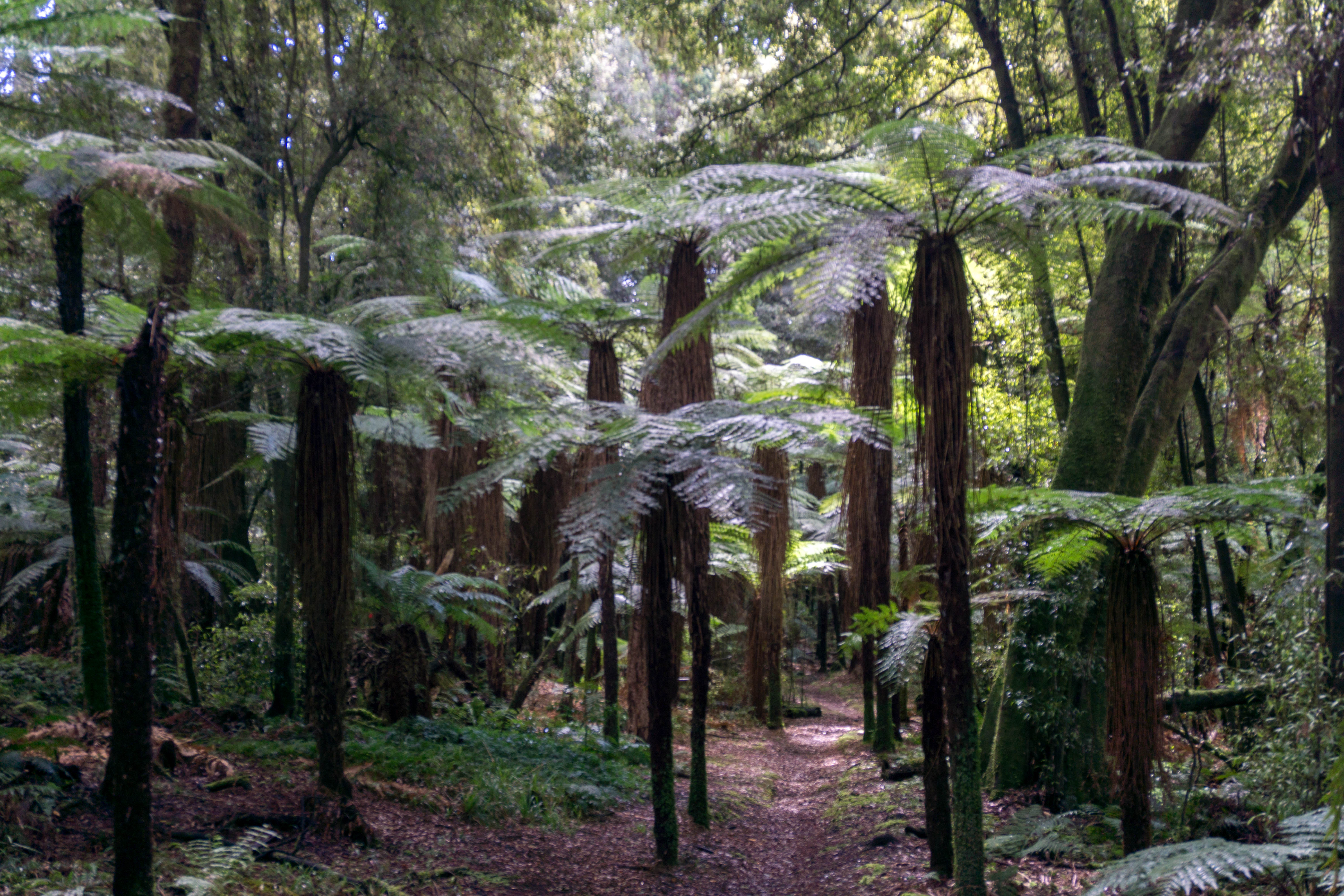 Fern Trees along the Waiatiu Falls track in the Whirinaki Forest