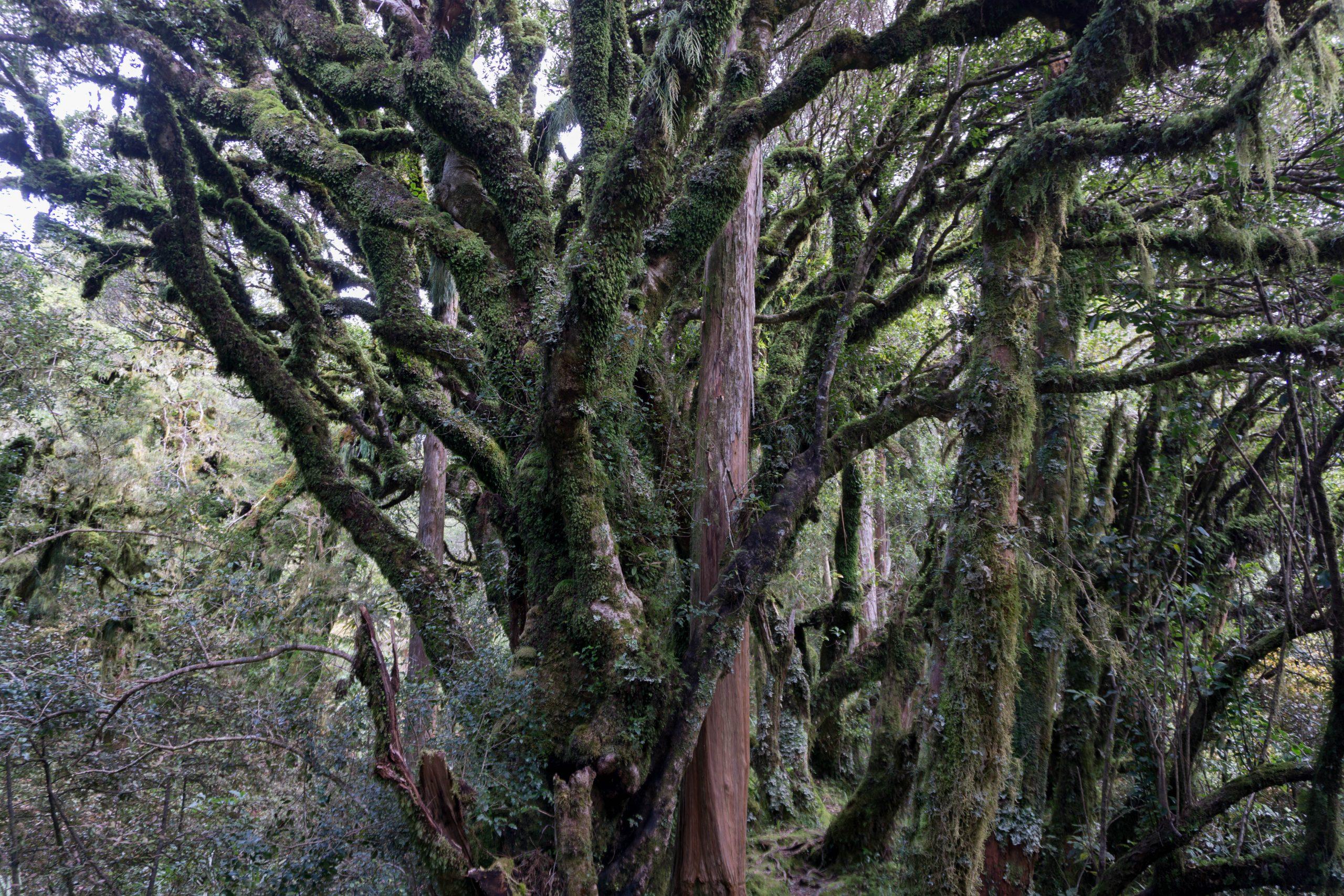 Goblin Forest Trees in Egmont National Park