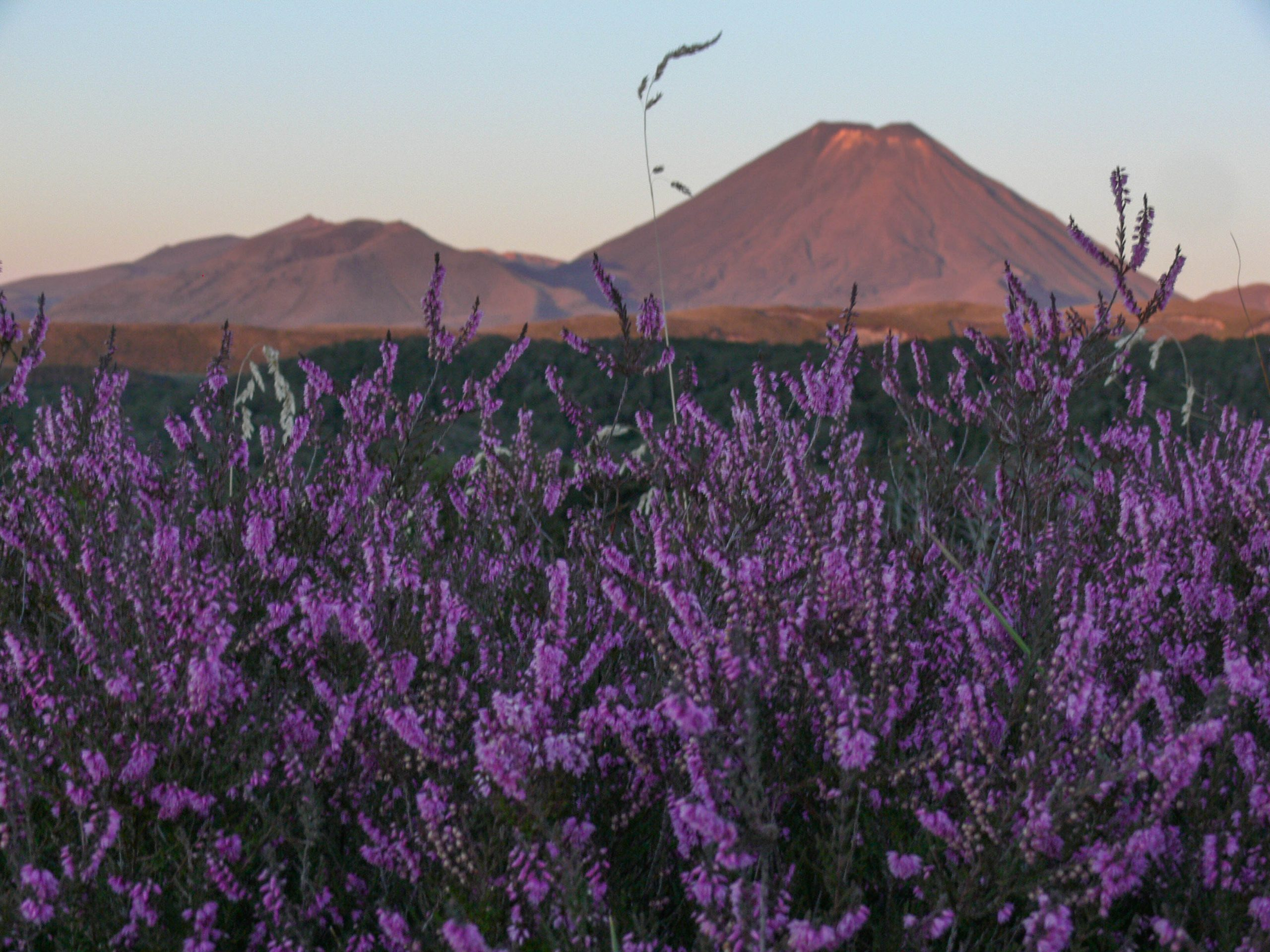Wildflowers and Mount Ngauruhoe from the Taranki Falls track