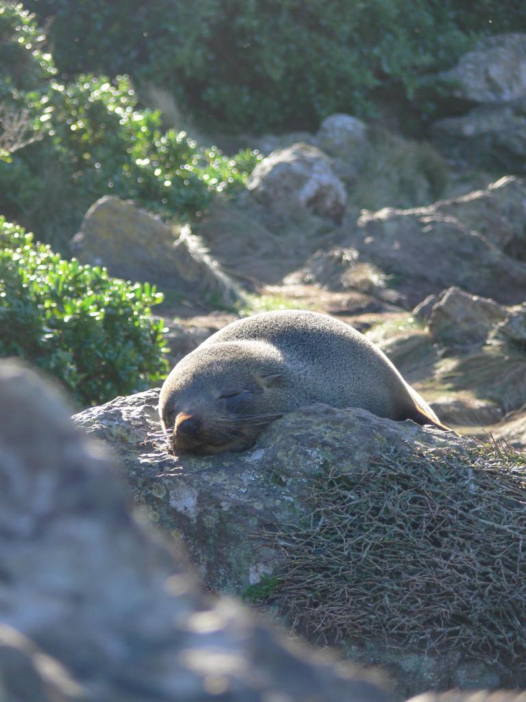 Cape Palliser fur seal colony