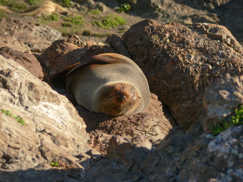 Fur seal basking in the sun at Cape Palliser