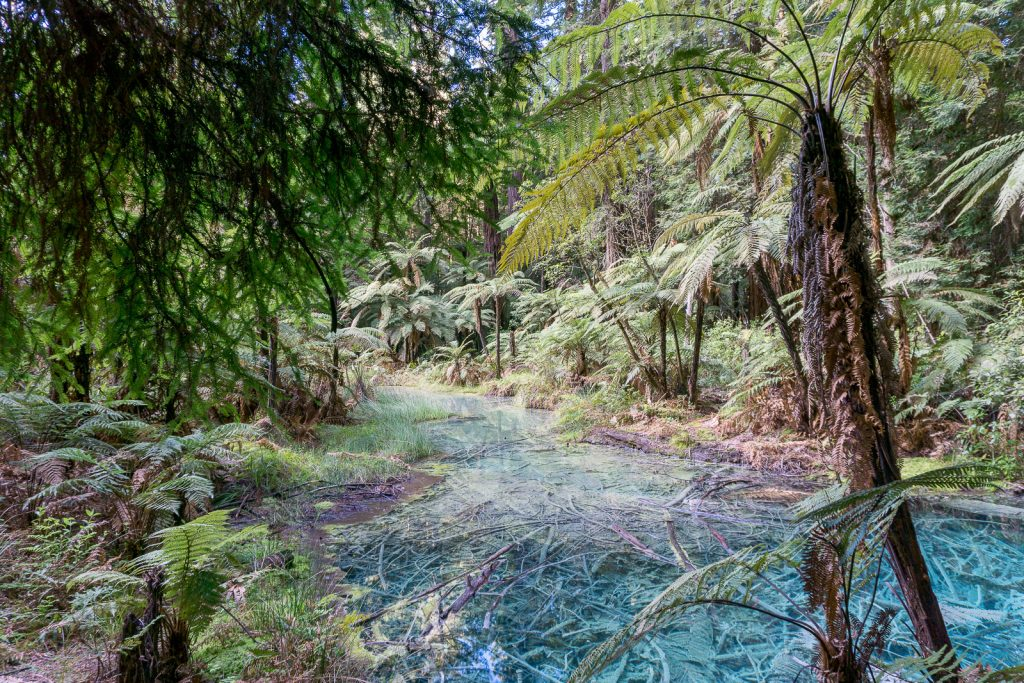 Free Things to do in Rotorua: Whakarewarewa Redwoods Walk